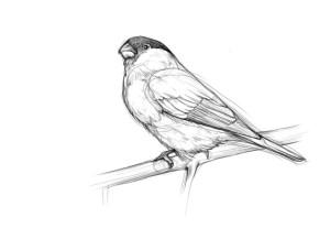 Как-нарисовать-снегиря-карандашом-поэтапно-4
