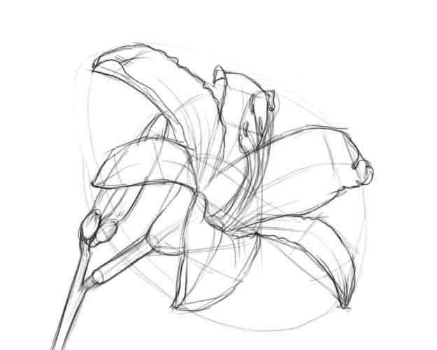 Цветок лилия раскраски