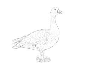 Как-нарисовать-гуся-карандашом-поэтапно-4