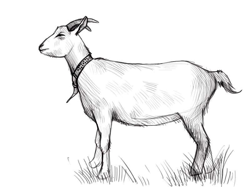 Как нарисовать козу?