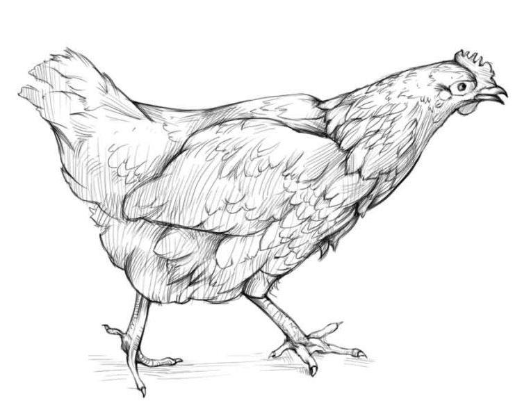Как нарисовать курицу?
