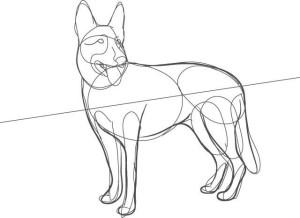 Как-нарисовать-овчарку-карандашом-поэтапно-3