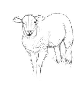 Как-нарисовать-овцу-карандашом-поэтапно-3