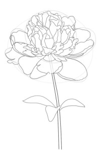 Как-нарисовать-пион-карандашом-поэтапно-4