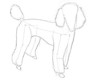 Как-нарисовать-пуделя-карандашом-поэтапно-3