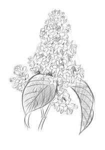 Как-нарисовать-сирень-карандашом-поэтапно-5