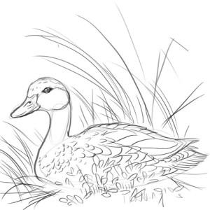 Как-нарисовать-утку-карандашом-поэтапно-4