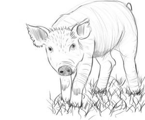 как-нарисовать-свинью-4