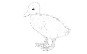 как-нарисовать-утенка-4