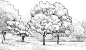 Как-нарисовать-клен-карандашом-поэтапно-4