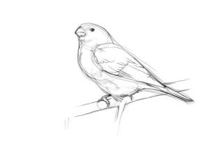 Как-нарисовать-снегиря-карандашом-поэтапно-3