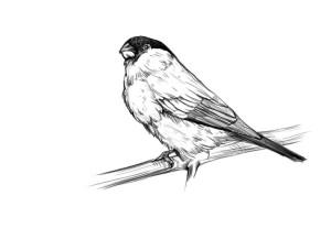 Как-нарисовать-снегиря-карандашом-поэтапно-5