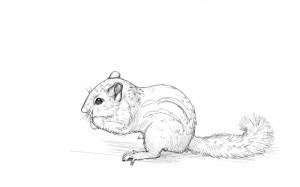 Как-нарисовать-бурундука-карандашом-поэтапно-4