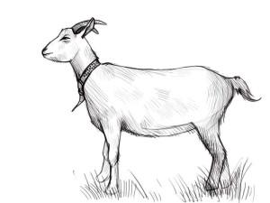 Как-нарисовать-козу-карандашом-поэтапно-4