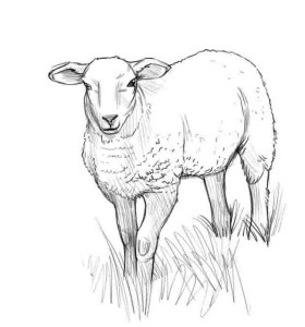 Как-нарисовать-овцу-карандашом-поэтапно-4