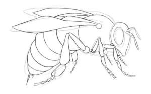 Как-нарисовать-пчелу-3