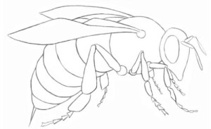 Как-нарисовать-пчелу-4