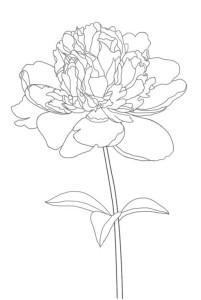 Как-нарисовать-пион-карандашом-поэтапно-5