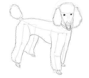 Как-нарисовать-пуделя-карандашом-поэтапно-4