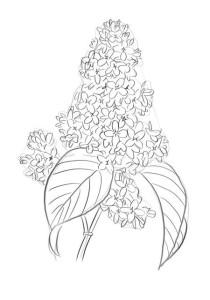 Как-нарисовать-сирень-карандашом-поэтапно-4
