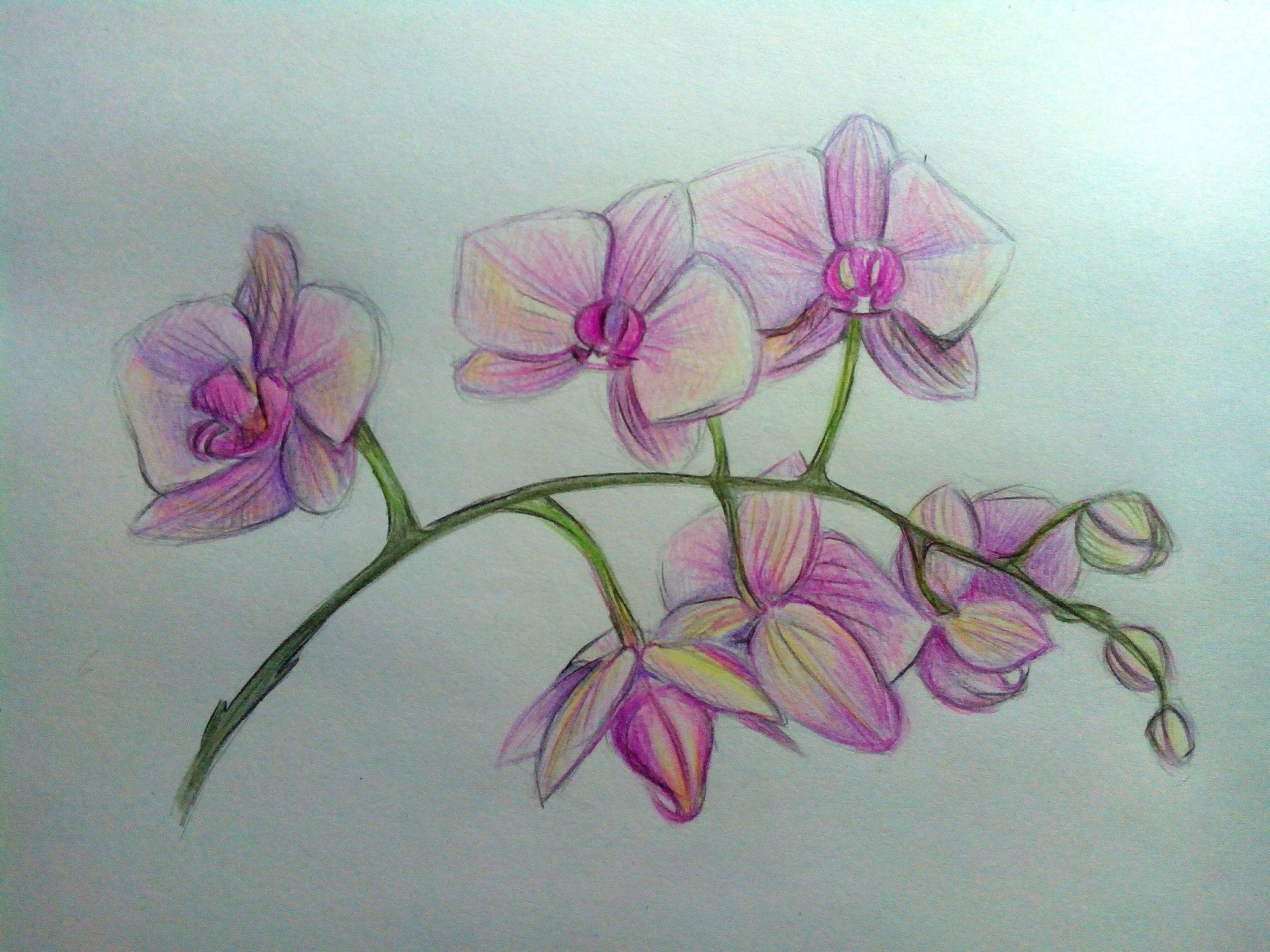 нарисованная орхидея